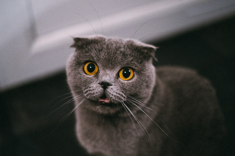 Lola the Scottish Fold cat